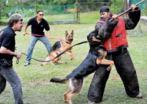 German Shepherd Dog Fight Sniffer dogs can help enhance